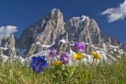 Alpine flowers in front of Monte Putia in Val Badia