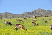 Goats in the Sierra de Grazalema