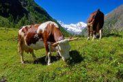 Grazing cattle in Cogne