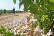 Walking in the vineyards of Provence