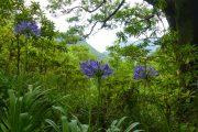 Agapanthes, Madeira