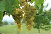 Wachau grapes