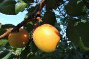 Wachau apricots