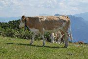 Feuerkogel cows