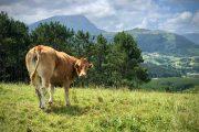 Cow above Deba