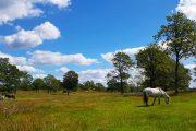 Horses grazing at Dollerup Bakker
