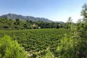 Alpilles vineyards