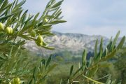Alpilles olives