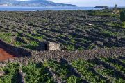 Vineyards on Pico island in the Azores