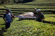 Harvest of Gorreana tea - Associacao de Turismo dos Acores