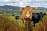 Cows on Spunkane Hill along the Kerry Way