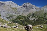 Mercantour sheep