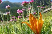 Beautiful alpine flora in the Mercantour National Park