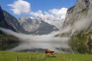 Almsee cows and clouds