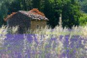 Provence lavender field