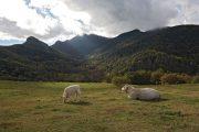 Grazing cows in La Garrotxa (c) Turisme Garrotxa