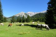 Cows in the Gaistal Valley