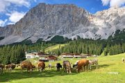 Cows grazing in front of the Zugspitze
