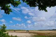 Horses grazing at Tversted Dune Plantation