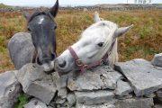 Heste langs vandreruten på Inishmore