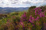 Blomstrende lyng på The Kerry Way med søer og bjerge i baggrunden