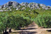 Alpilles olive grove