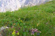 Dachstein flowers