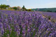 Sault lavender walk