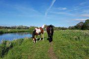 Heste på Trækstien