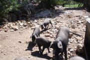 Man kan sagtens ske at møde grisefamilier på vandreruterne. Der produceres masser af jamón serrano i området.