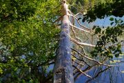 Væltet træ over Slåensø