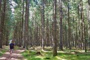 Hærvejen går gennem flere nåletræsplantager