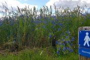Vandreskilt og kornblomster langs Hærvejen