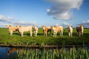 køer på polderen