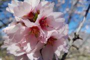Smukke lyserøde mandelblomster på Gran Canaria