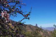 Mandeltræer i fuldt flor med Roque Bentayga i baggrunden