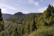 Fyrskove på Gran Canaria