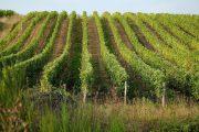 En af Loiredalens mange vinmarker
